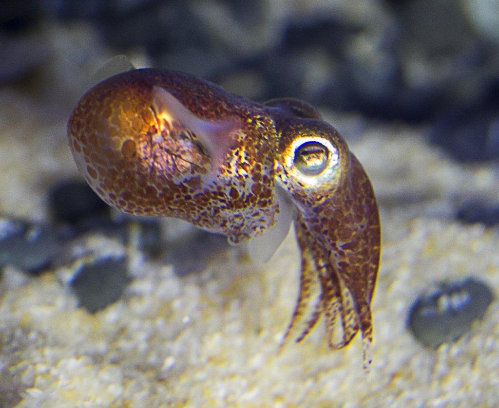 Морская каракатица картинки