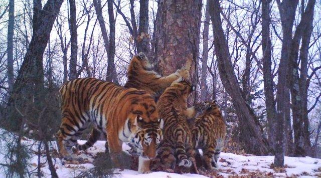 «Дерево посланий» на «Земле леопарда» привлекло многодетную тигриную семью