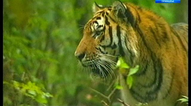 """Амурский тигр вышел к дороге вблизи нацпарка """"Земля леопарда"""" в Приморье"""